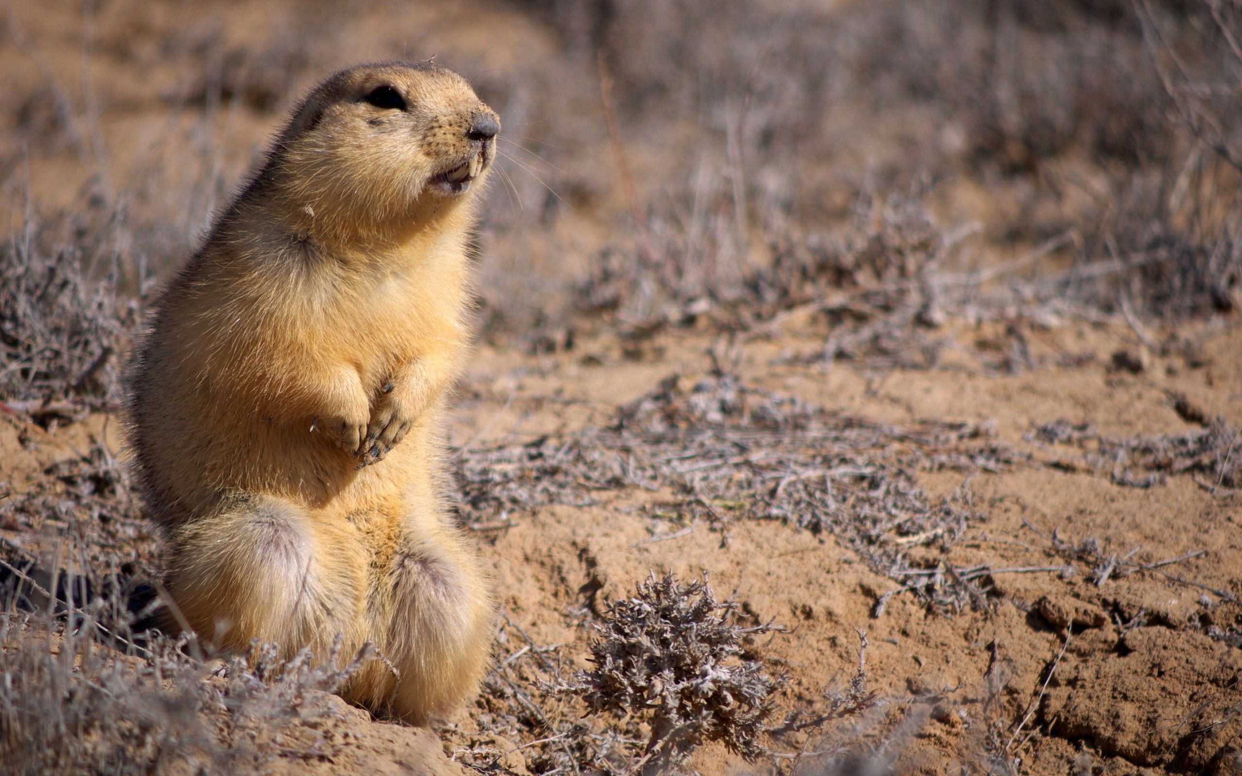 154997 download wallpaper Animals, Marmot, Grass, Mud, Dirt screensavers and pictures for free