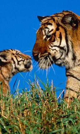 2404 descargar fondo de pantalla Animales, Tigres: protectores de pantalla e imágenes gratis