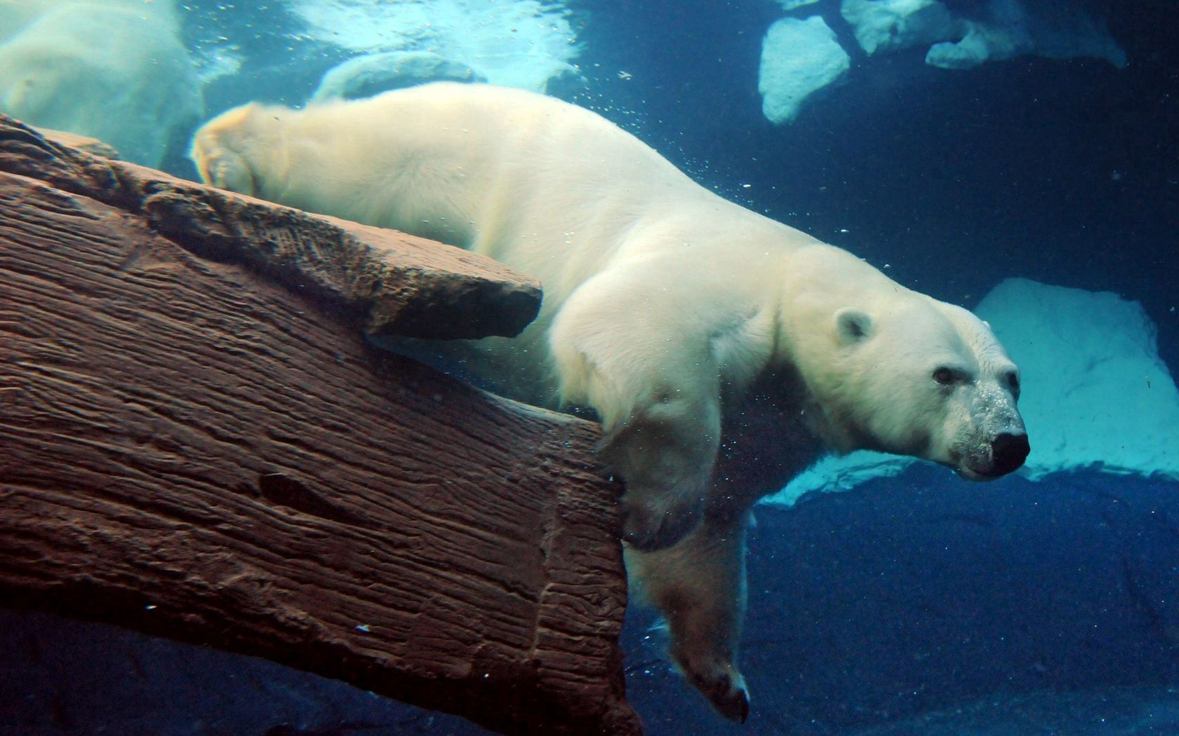 122023 download wallpaper Animals, Polar Bear, Underwater, Submarine, To Swim, Swim, Large, Big screensavers and pictures for free