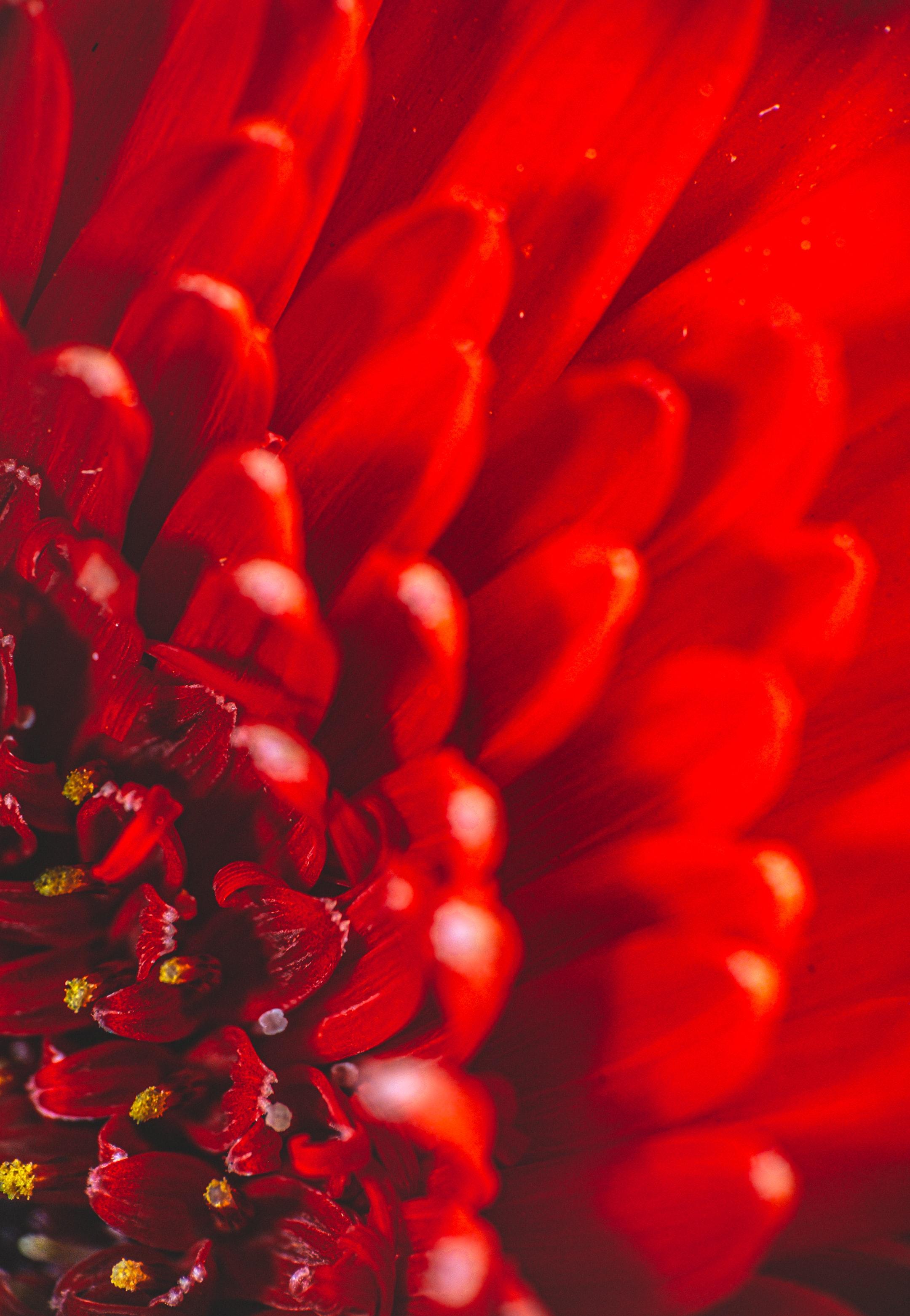 153593 download wallpaper Macro, Chrysanthemum, Flower, Petals screensavers and pictures for free