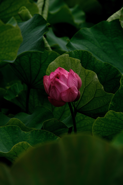 71110 скачать обои Цветок, Цветы, Растение, Бутон, Розовый, Лилия - заставки и картинки бесплатно