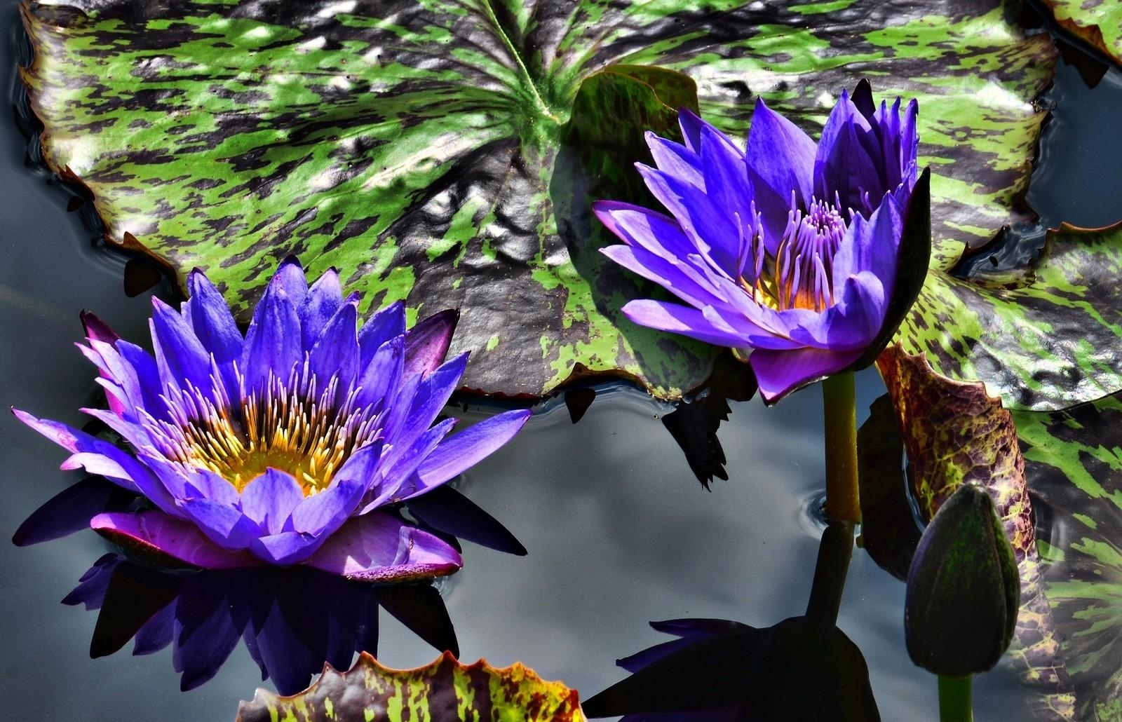 57270 download wallpaper Flowers, Water Lilies, Lilac, Purple, Couple, Pair, Water, Leaves screensavers and pictures for free
