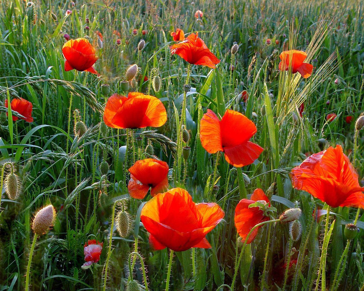 155270 скачать обои Маки, Цветы, Трава, Лето, Зелень, Поле - заставки и картинки бесплатно