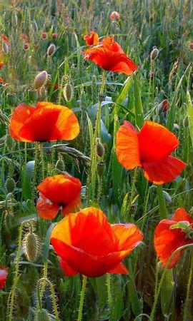 155270 скачать обои Цветы, Маки, Поле, Зелень, Трава, Лето - заставки и картинки бесплатно