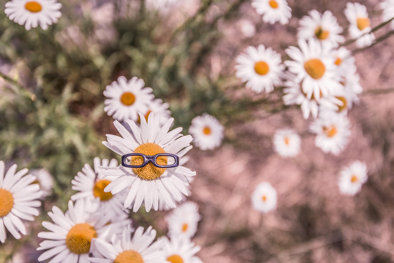 130873 скачать обои Цветы, Ромашки, Очки, Клумба, Размытость - заставки и картинки бесплатно
