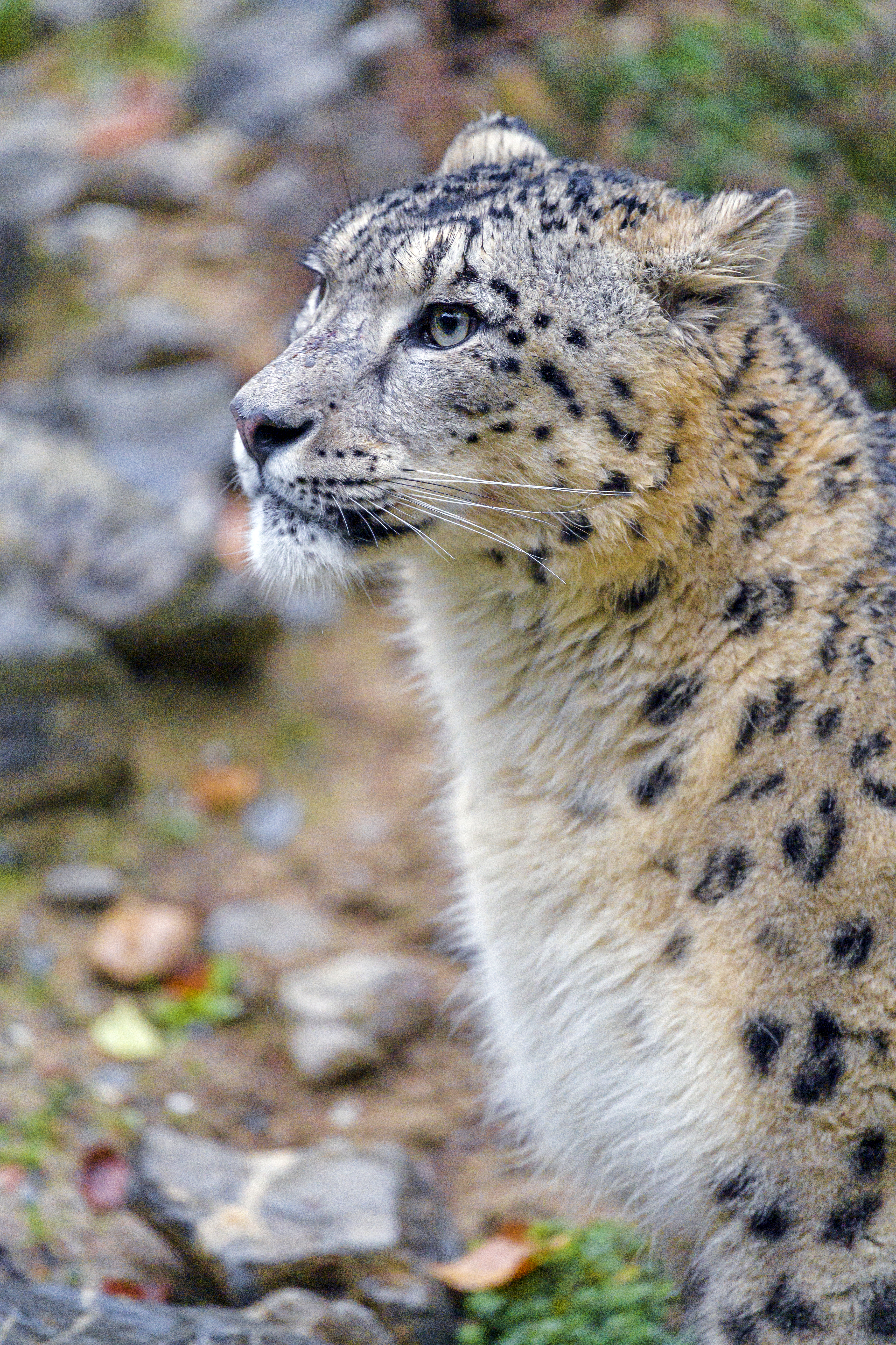 51578 download wallpaper Animals, Irbis, Animal, Wild, Wildlife, Snow Leopard screensavers and pictures for free