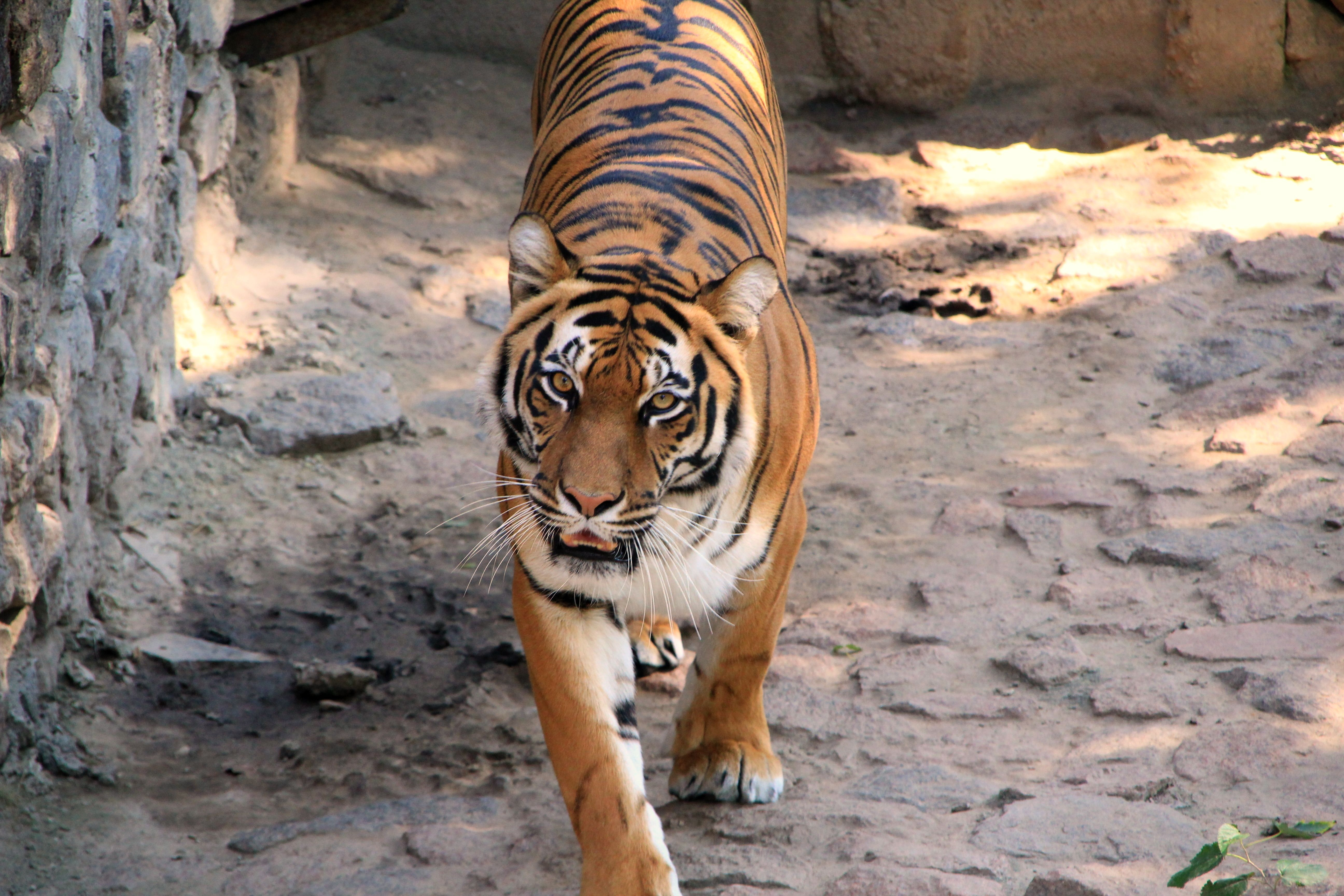 114679 download wallpaper Animals, Tiger, Striped, Predator screensavers and pictures for free