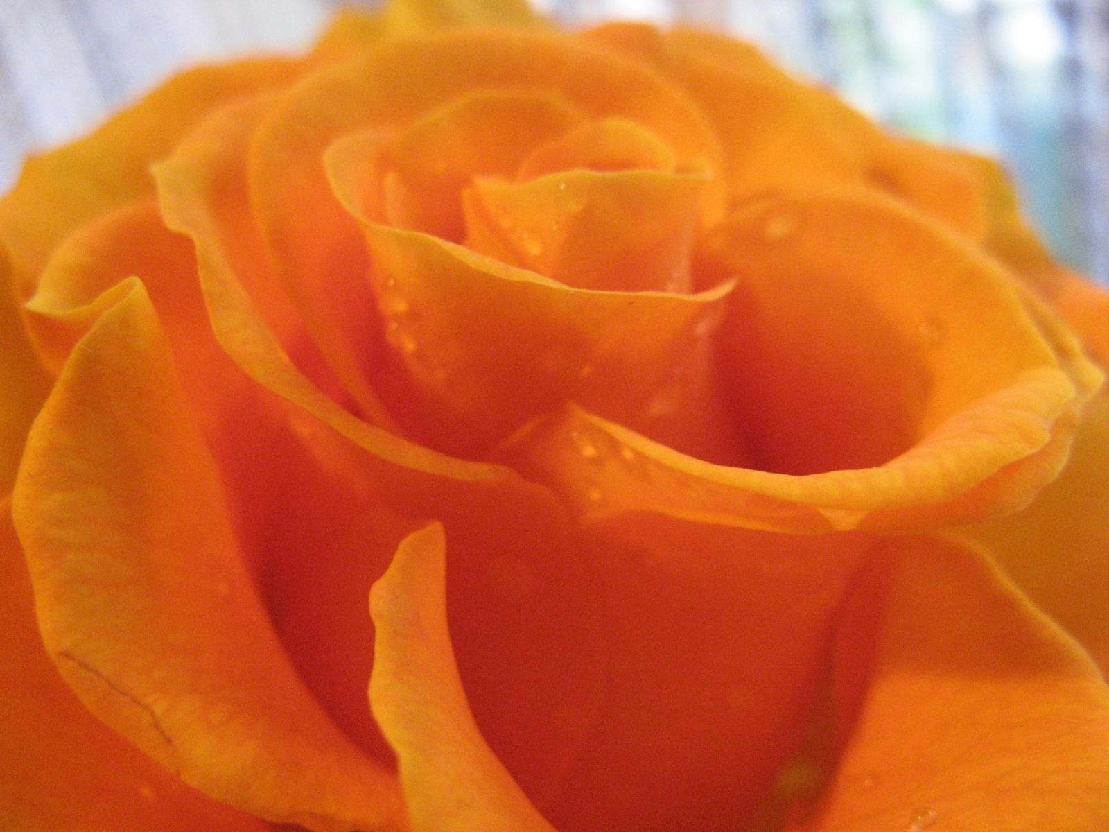 8387 скачать обои Растения, Цветы, Розы - заставки и картинки бесплатно