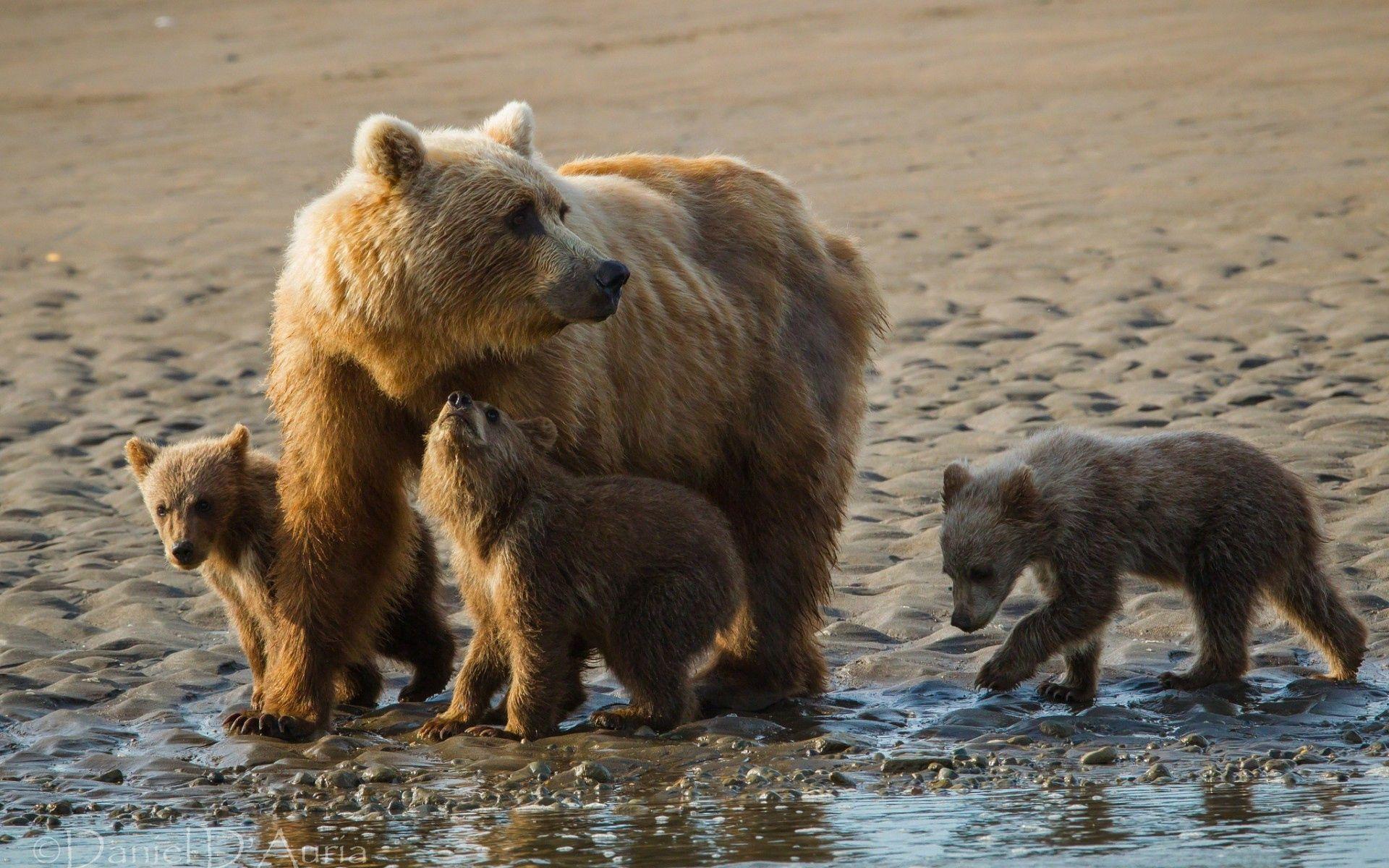 72573 Заставки и Обои Медведи на телефон. Скачать Животные, Песок, Медведи, Семья, Детеныши картинки бесплатно