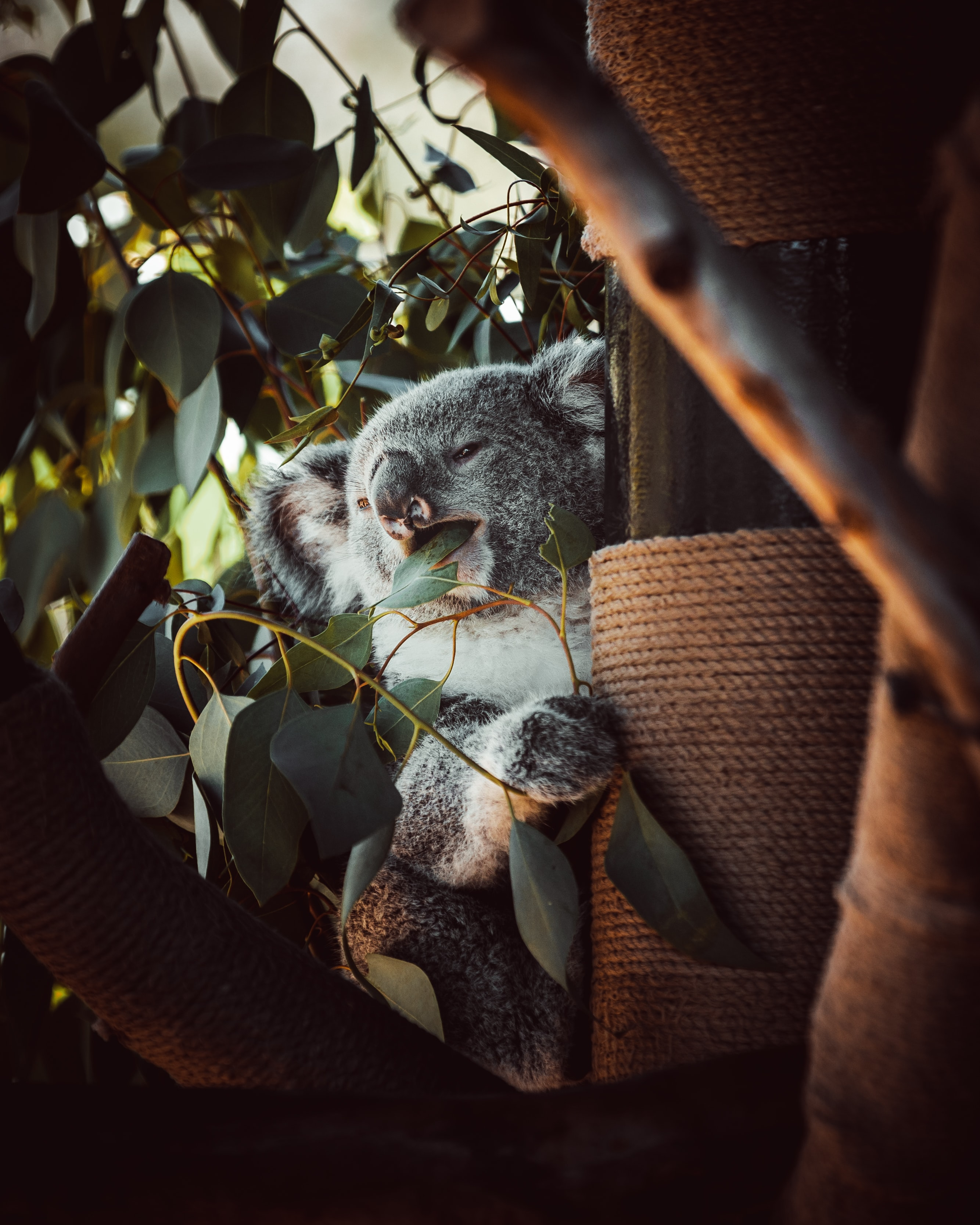 134787 download wallpaper Animals, Koala, Animal, Funny, Wood, Tree, Leaves screensavers and pictures for free