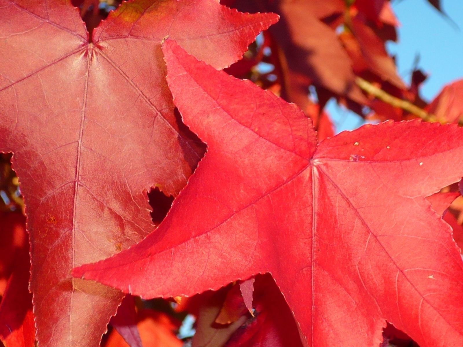 9999 download wallpaper Plants, Autumn, Leaves screensavers and pictures for free