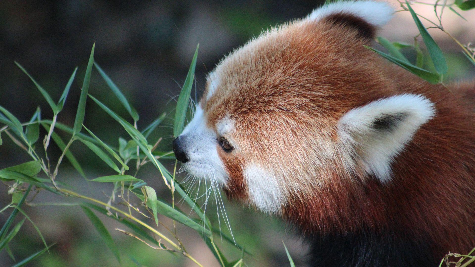 108520 download wallpaper Animals, Red Panda, Grass, Muzzle, Panda, Little Panda, Small Panda screensavers and pictures for free