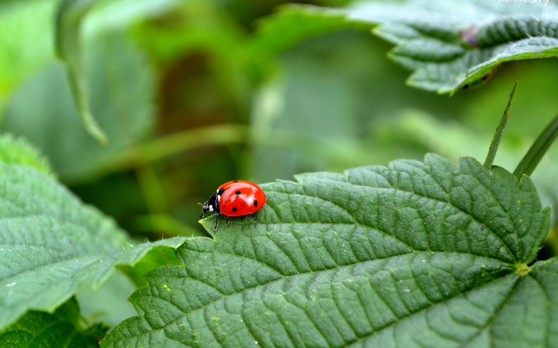 30457 download wallpaper Insects, Ladybugs screensavers and pictures for free