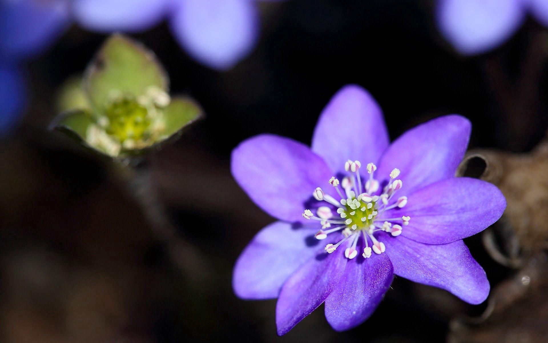 108406 скачать обои Цветы, Листья, Растение, Макро, Лепестки, Сиреневый - заставки и картинки бесплатно