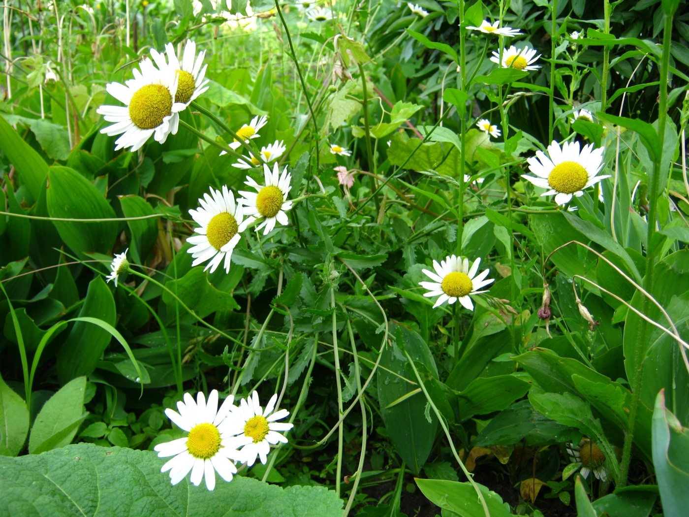 47224 download wallpaper Plants, Flowers, Camomile screensavers and pictures for free