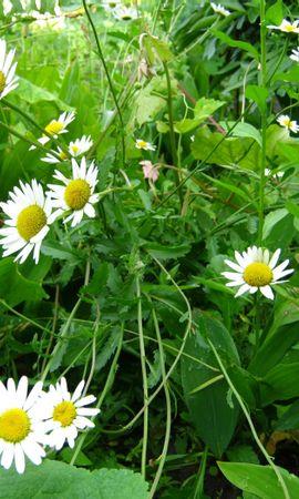 47224 télécharger le fond d'écran Plantes, Fleurs, Camomille - économiseurs d'écran et images gratuitement