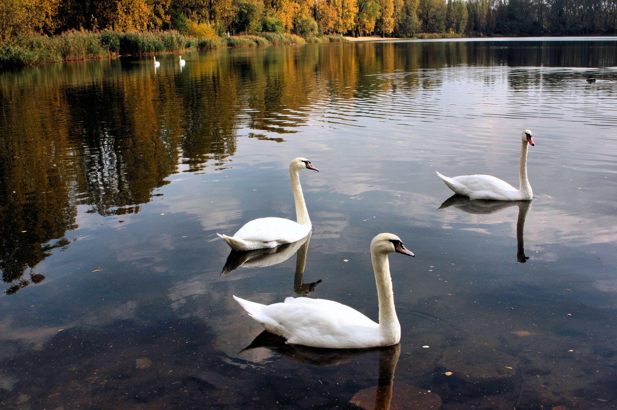56632 Hintergrundbild herunterladen Tiere, Vögel, Bäume, Swans, See, Teich - Bildschirmschoner und Bilder kostenlos