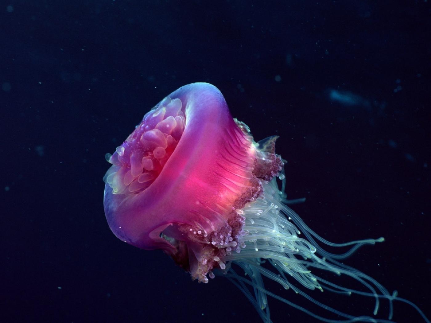 27074 免費下載壁紙 动物, 海, 海蜇 屏保和圖片