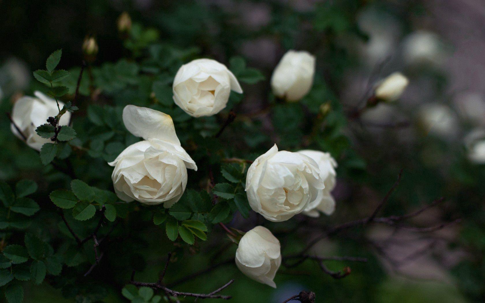 110106 Hintergrundbild herunterladen Blumen, Roses, Blütenblätter, Geäst, Zweige, Knospen - Bildschirmschoner und Bilder kostenlos