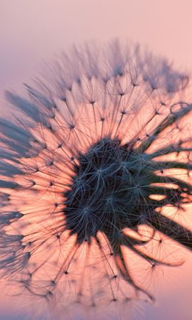 41140 télécharger le fond d'écran Plantes, Fleurs, Pissenlits - économiseurs d'écran et images gratuitement