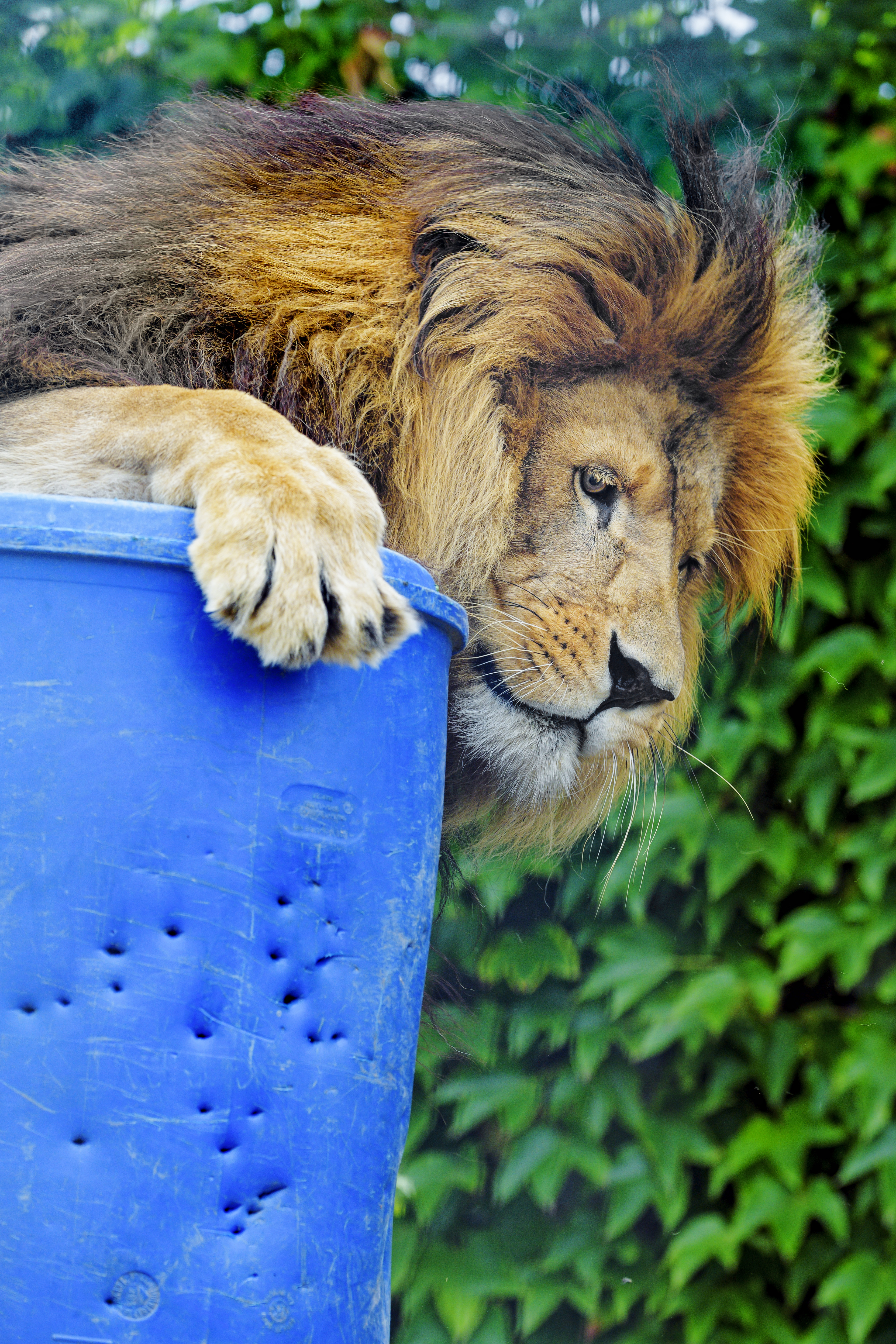 76067 download wallpaper Animals, Lion, Predator, Big Cat, Sight, Opinion, Profile screensavers and pictures for free
