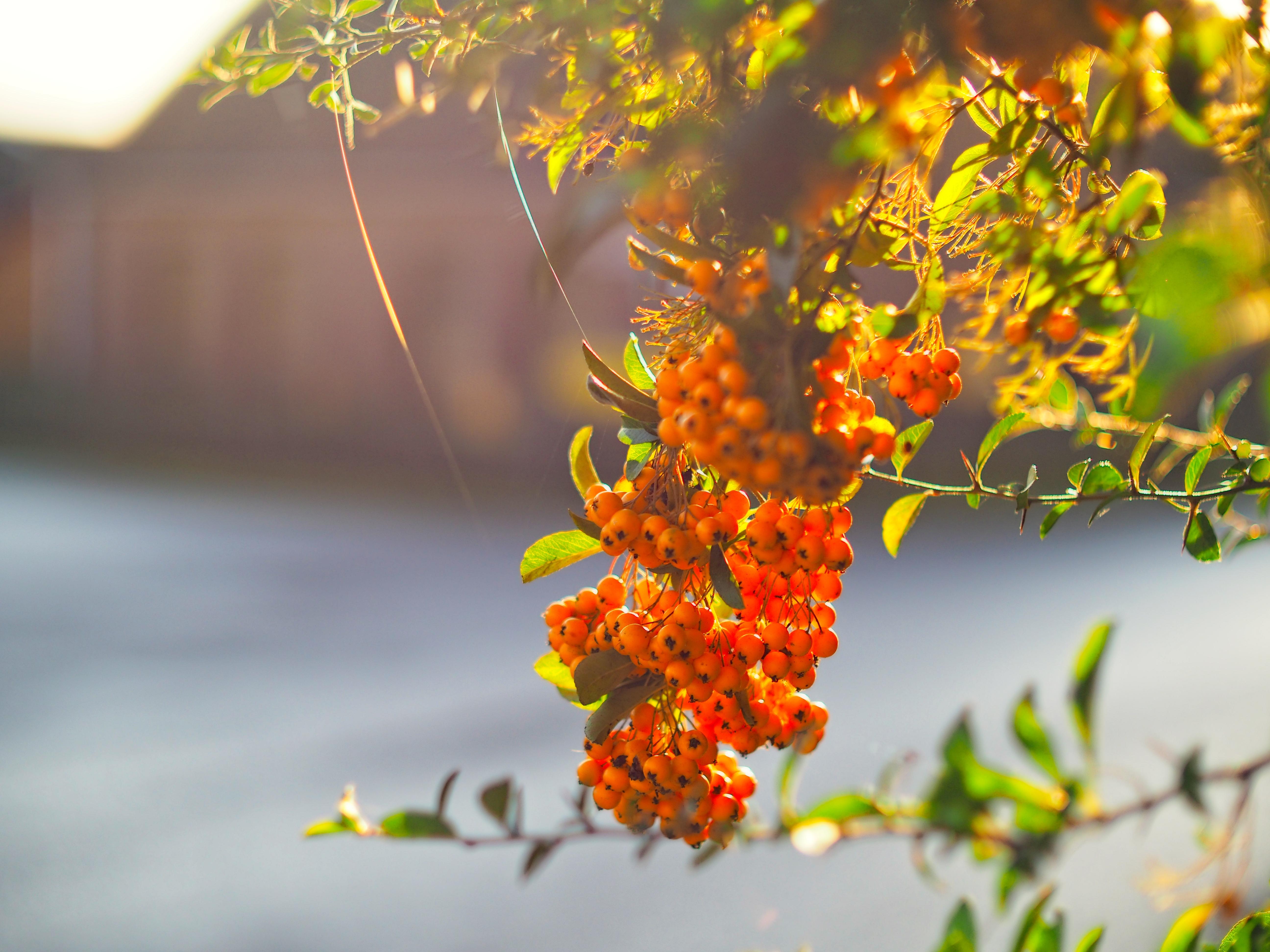 126685 скачать обои Природа, Оранжевый, Гроздь, Растение, Ягоды - заставки и картинки бесплатно
