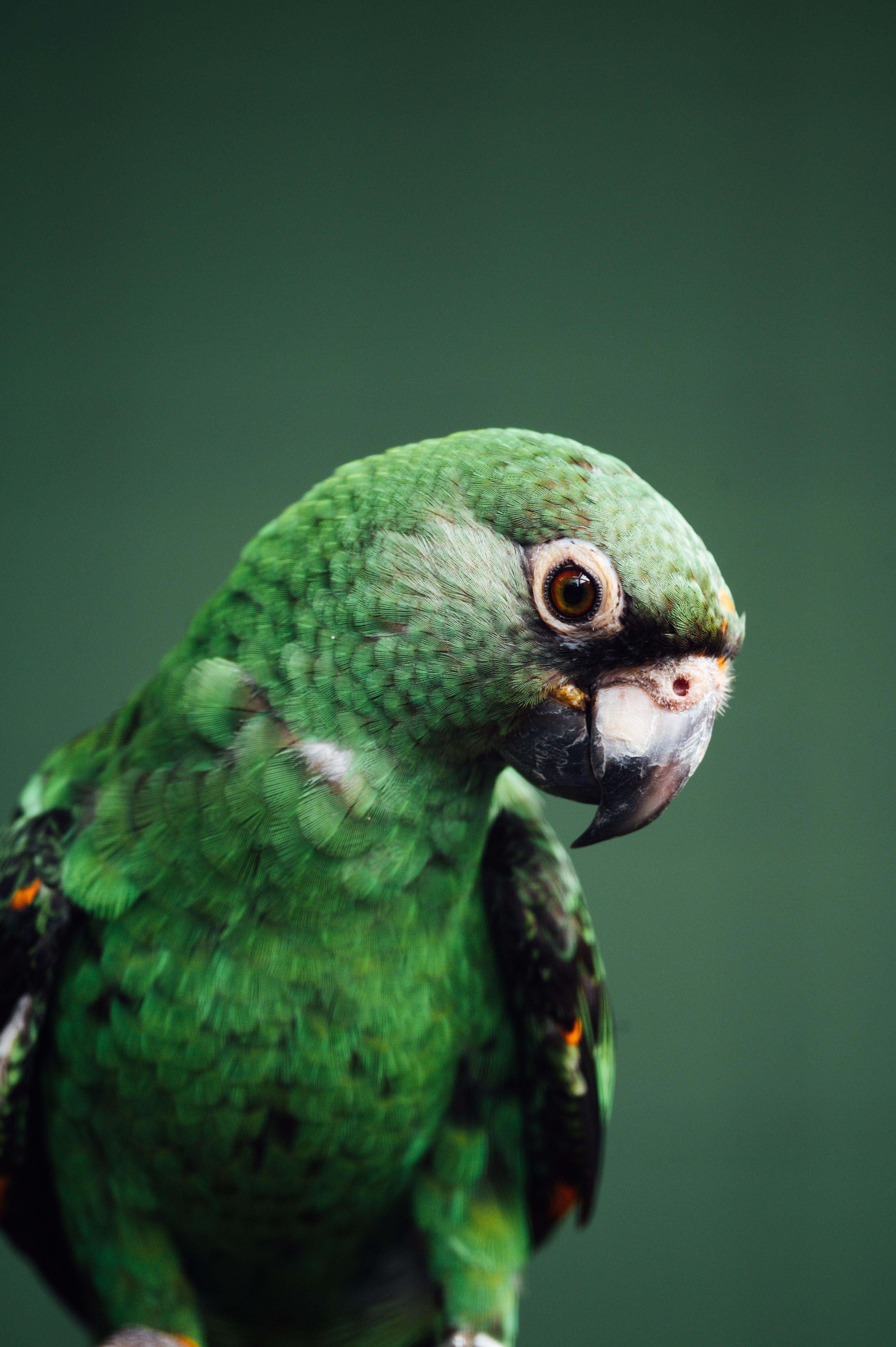 107028 télécharger le fond d'écran Oiseau, Perroquets, Animaux, Faune - économiseurs d'écran et images gratuitement