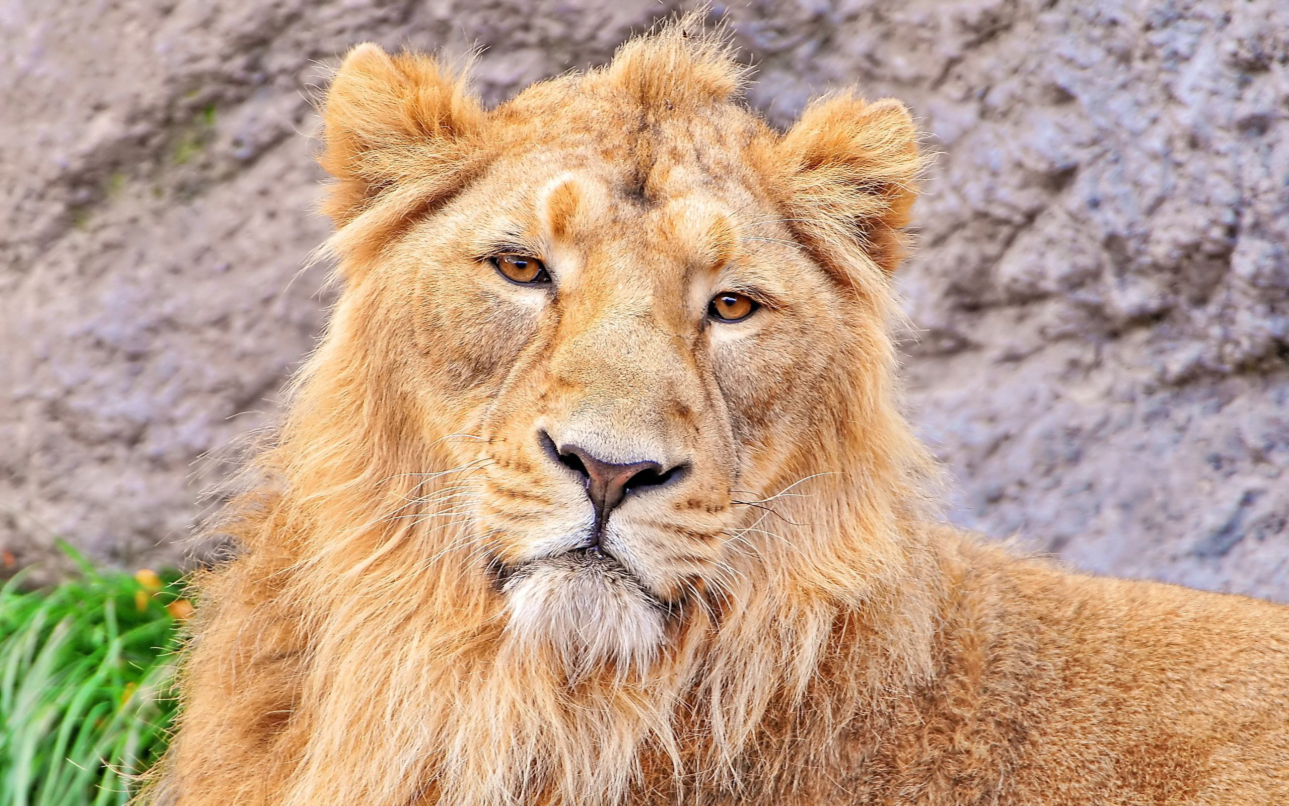 134523 download wallpaper Animals, Lion, Muzzle, Wool, Predator screensavers and pictures for free