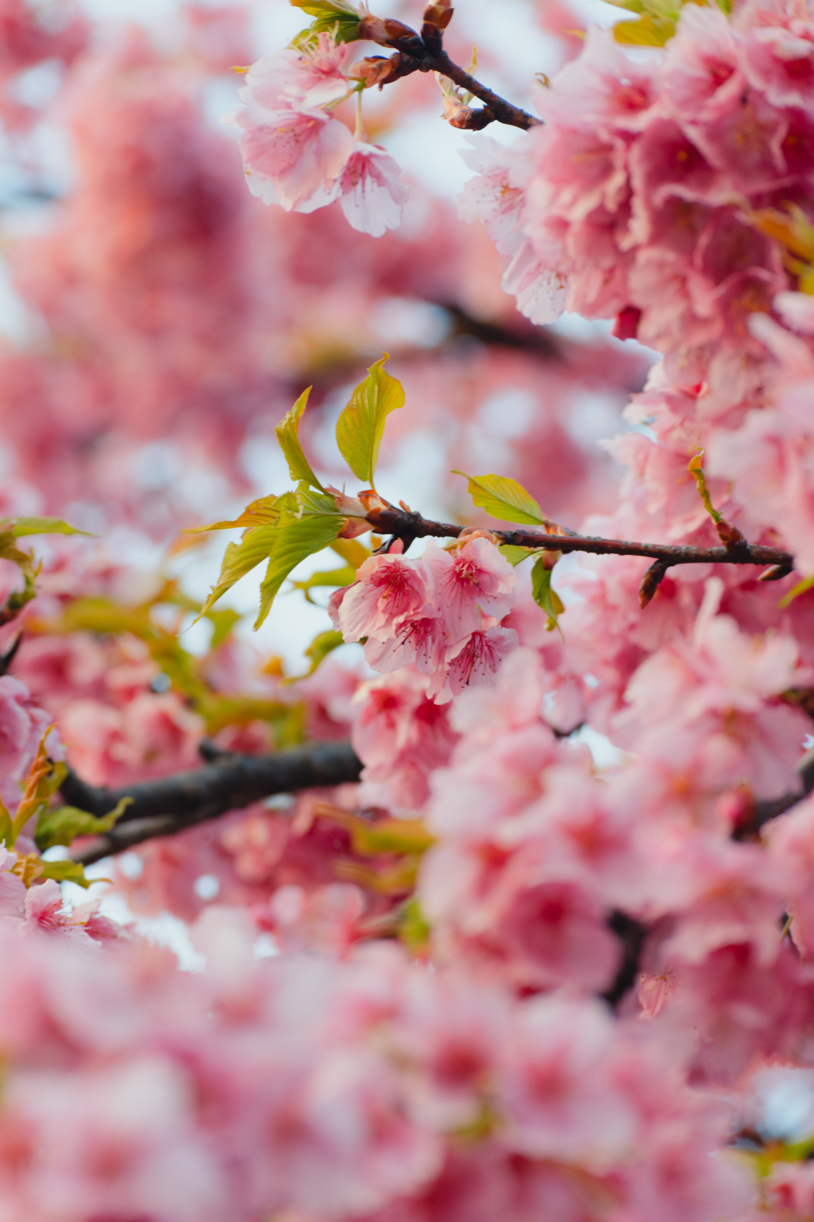 69765 Screensavers and Wallpapers Sakura for phone. Download Flowers, Leaves, Pink, Sakura, Branches pictures for free