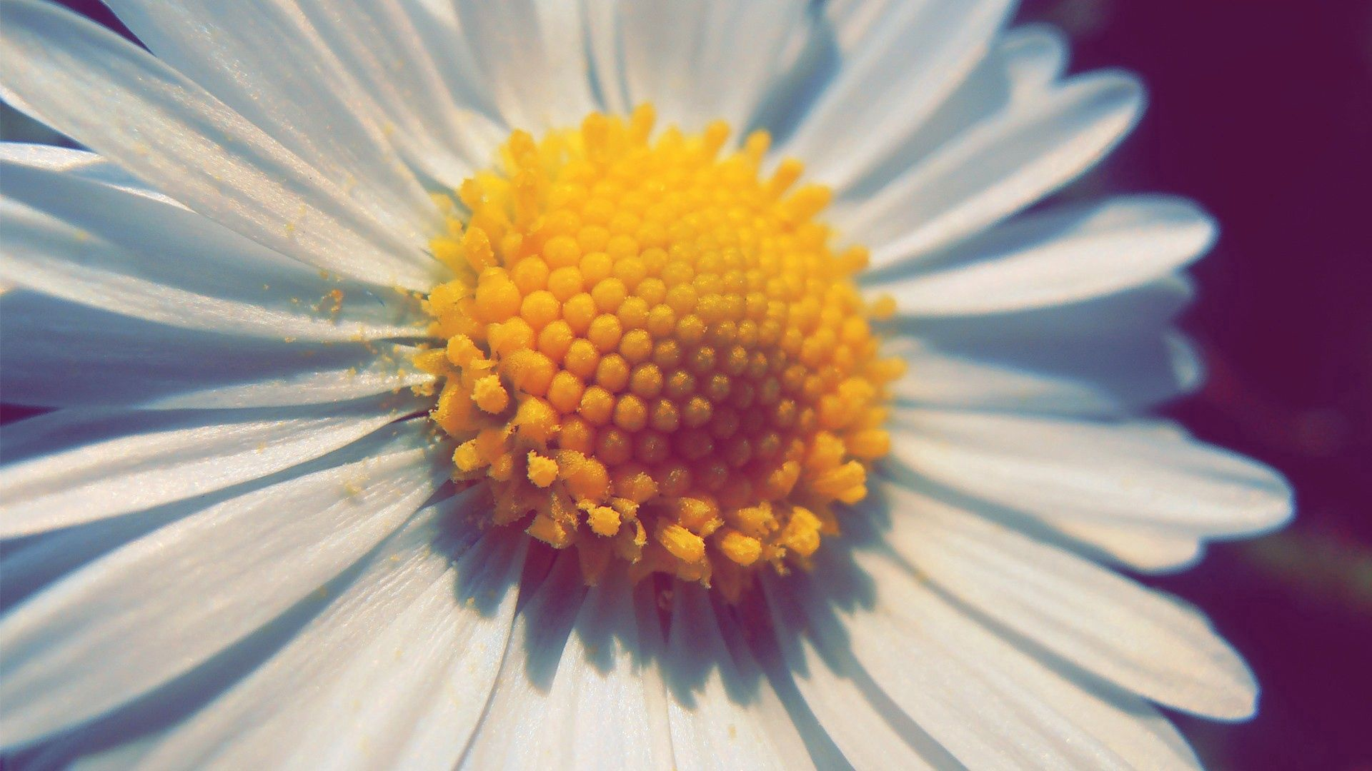 133139 download wallpaper Macro, Chamomile, Camomile, Flower, Petals, Pollen screensavers and pictures for free
