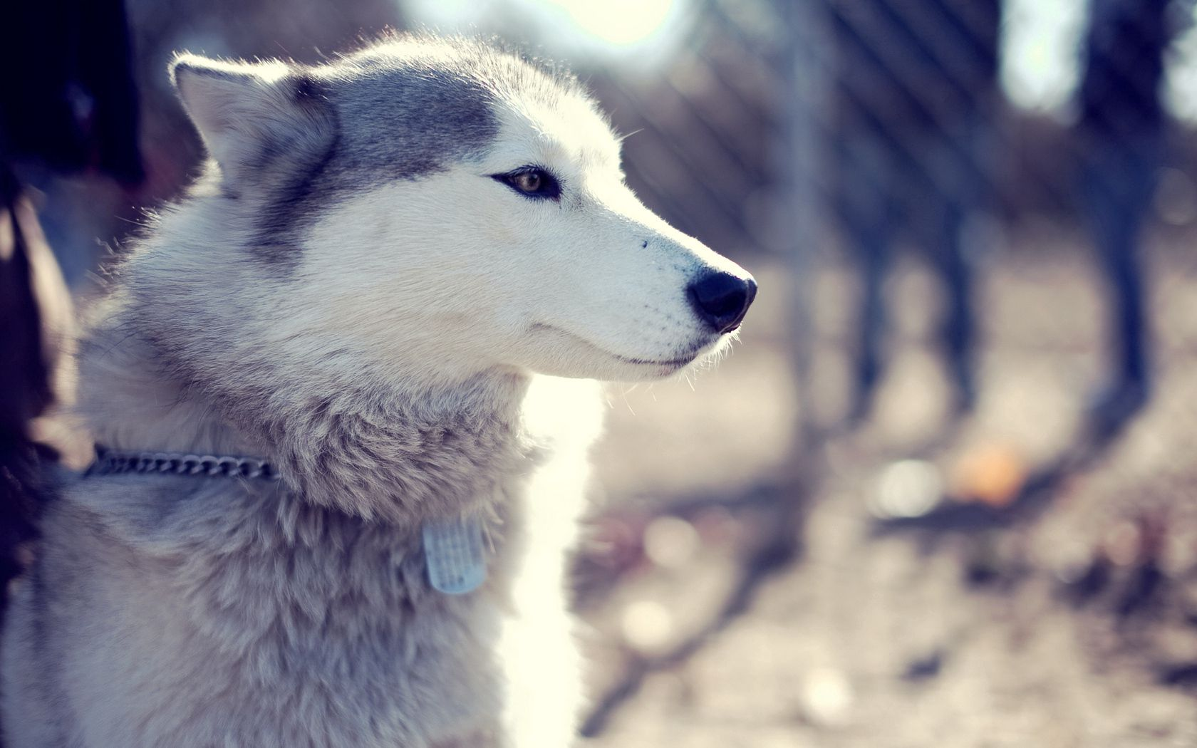 99239 Screensavers and Wallpapers Sit for phone. Download Animals, Sit, Dog, Muzzle, Husky, Haska, Wool, Collar pictures for free