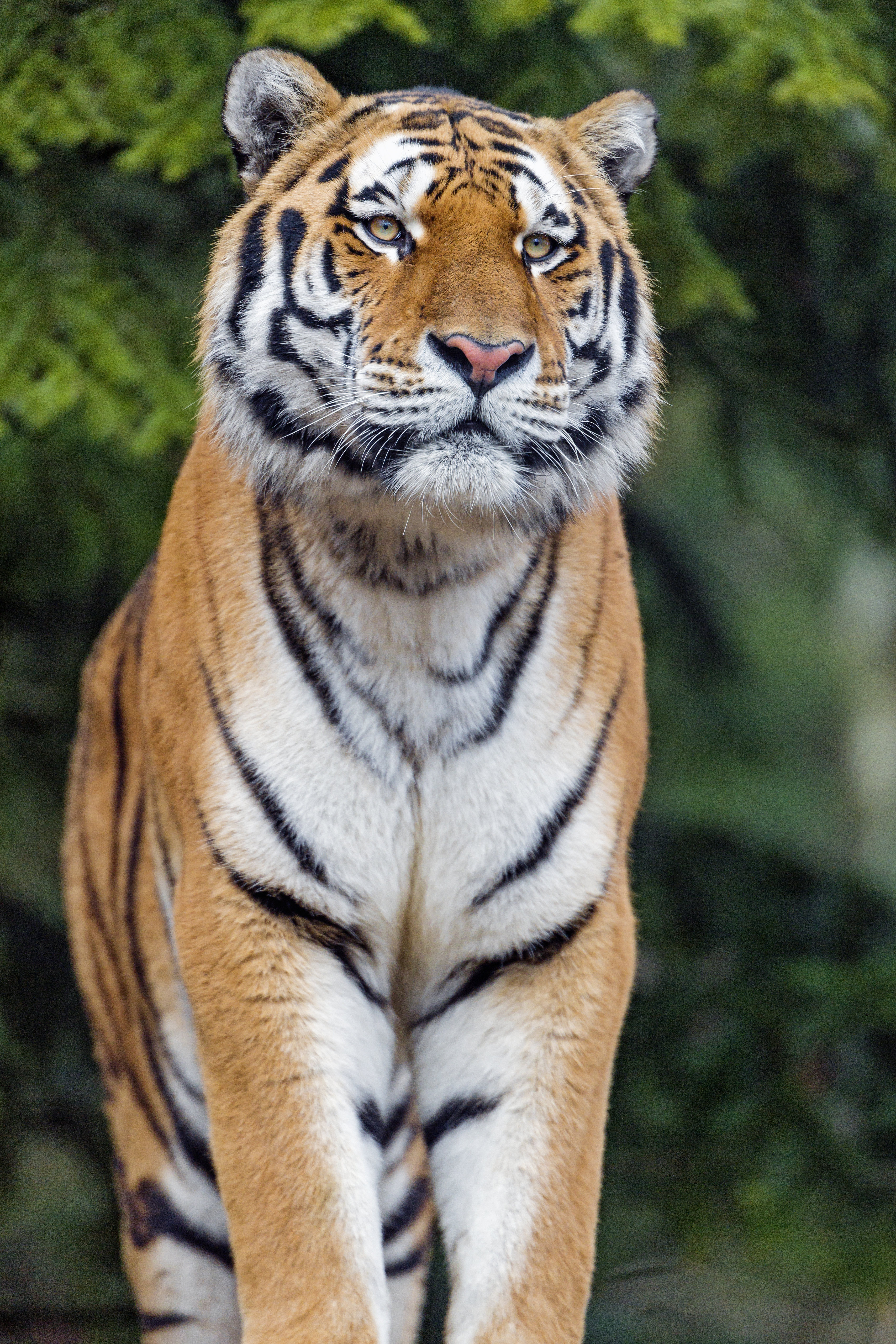 79986 download wallpaper Animals, Tiger, Big Cat, Sight, Opinion, Predator screensavers and pictures for free