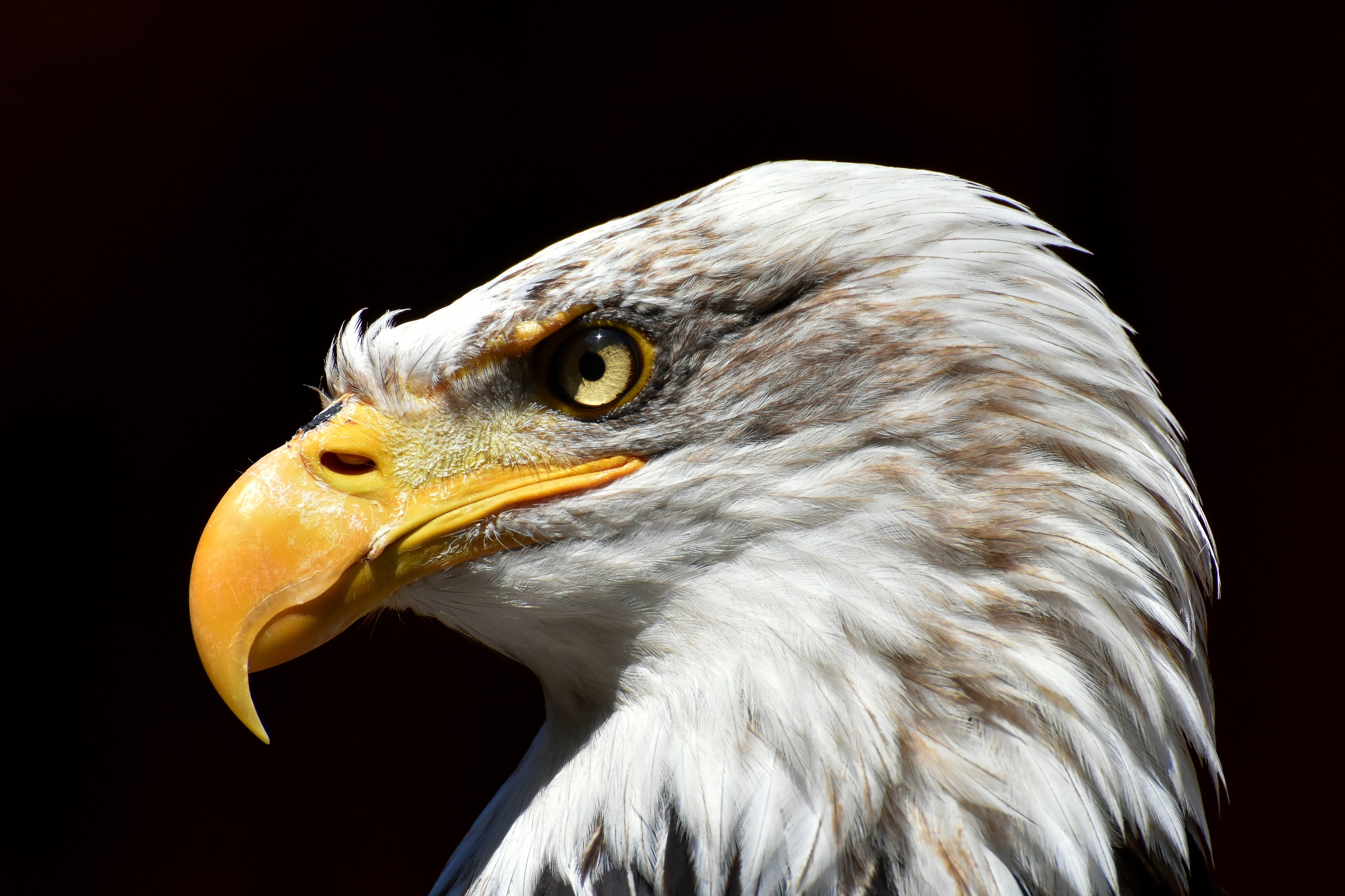 111016 download wallpaper Animals, Bald Eagle, White-Headed Eagle, Eagle, Beak, Predator, Bird screensavers and pictures for free