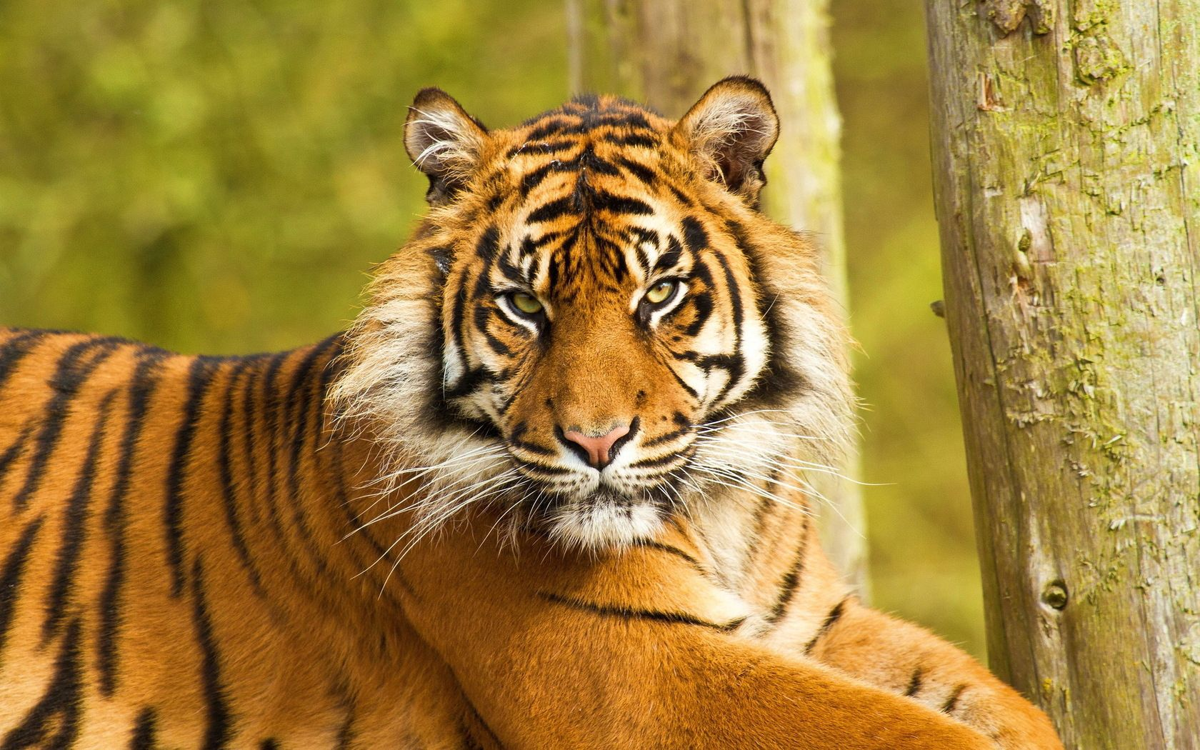 155706 download wallpaper Animals, Tiger, Muzzle, Striped, Predator, Big Cat, Sit screensavers and pictures for free