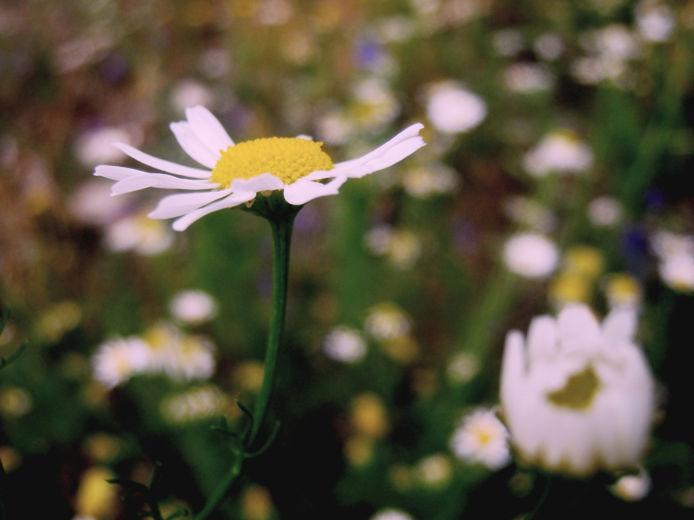 45870 download wallpaper Plants, Flowers, Camomile screensavers and pictures for free