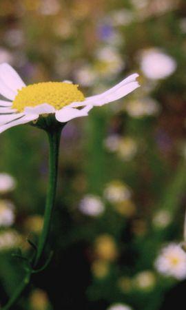 45870 télécharger le fond d'écran Plantes, Fleurs, Camomille - économiseurs d'écran et images gratuitement