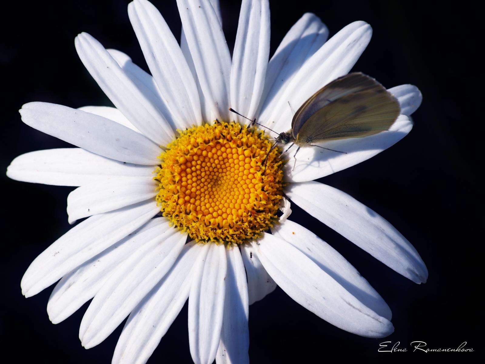 3509 скачать обои Растения, Бабочки, Цветы, Насекомые, Ромашки - заставки и картинки бесплатно