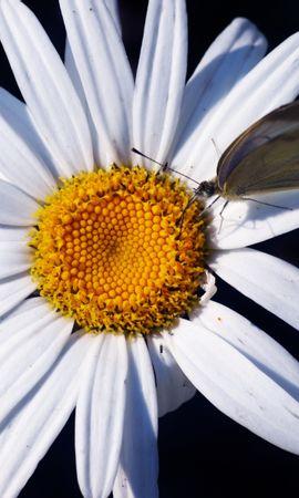 3509 descargar fondo de pantalla Plantas, Mariposas, Flores, Insectos, Camomila: protectores de pantalla e imágenes gratis