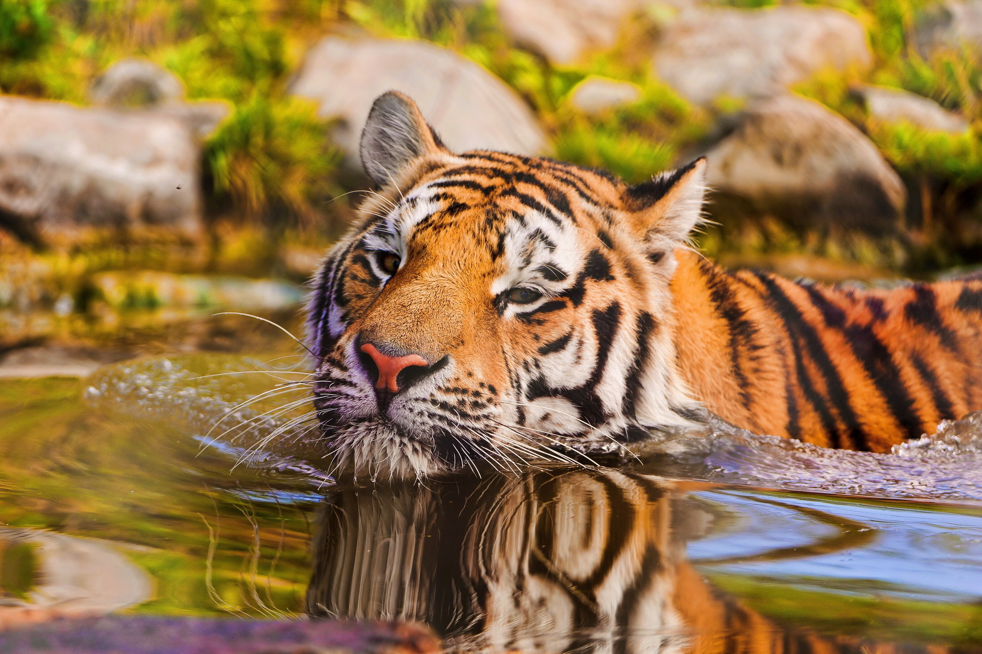 146366 download wallpaper Animals, Tiger, Muzzle, To Swim, Swim, Water screensavers and pictures for free