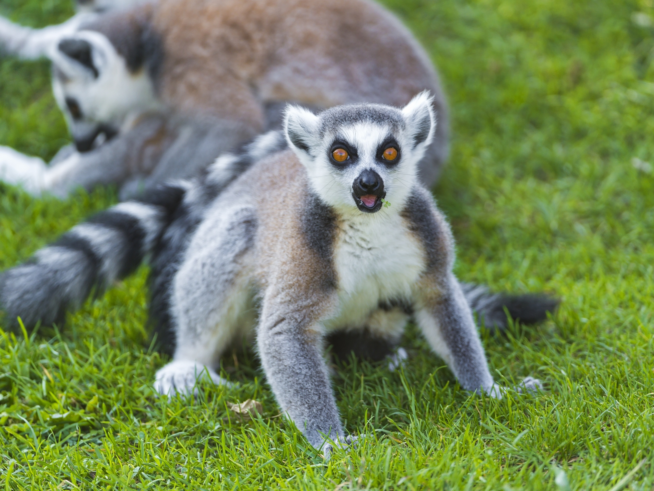82299 download wallpaper Animals, Lemur, Grass, Scream, Cry, Surprise, Astonishment screensavers and pictures for free