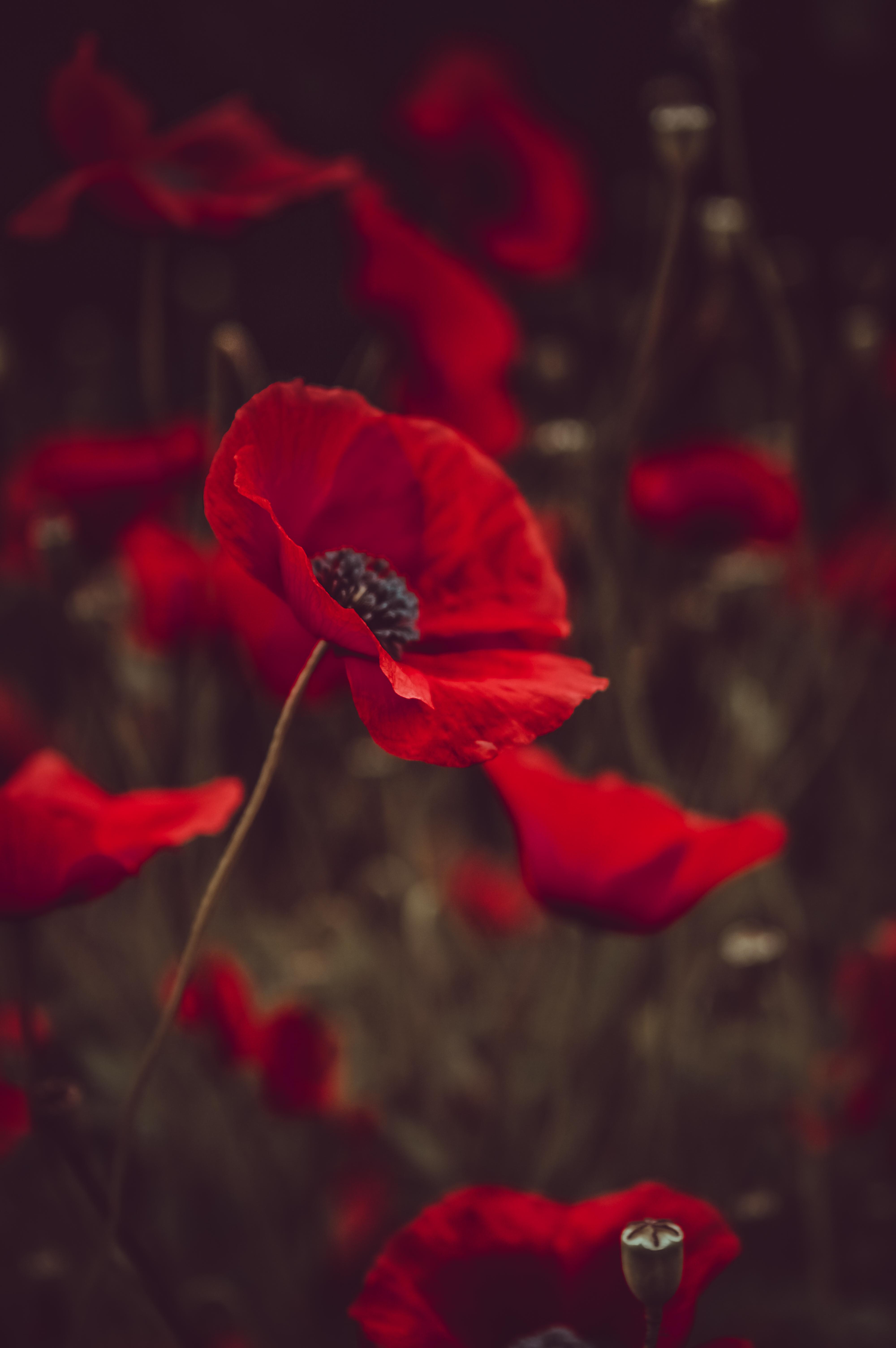 112646 скачать обои Цветы, Маки, Красный, Цветение, Поле - заставки и картинки бесплатно