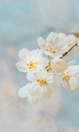 149209 скачать обои Макро, Вишня, Ветка, Белый, Цветы - заставки и картинки бесплатно