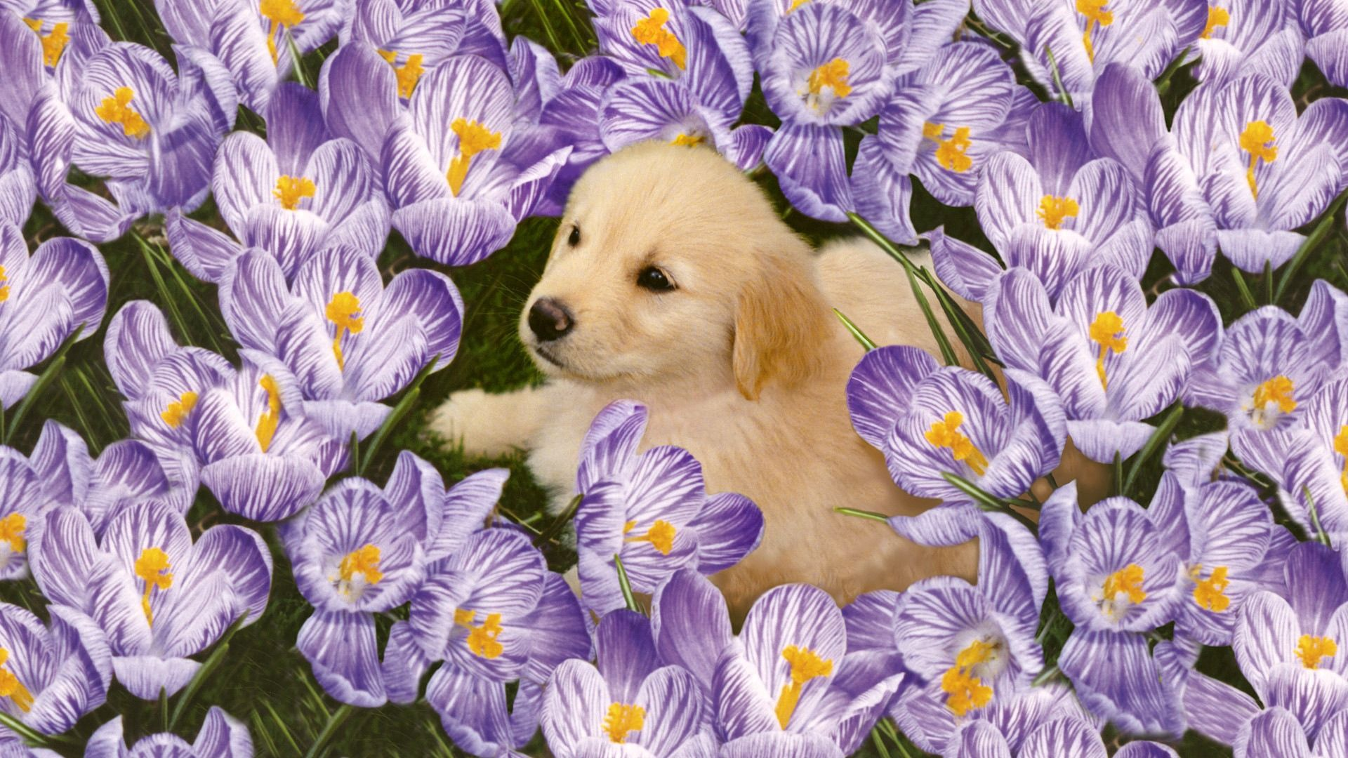 56807 download wallpaper Animals, Labrador, Puppy, Flowers screensavers and pictures for free