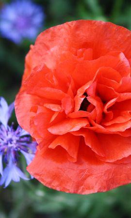 10004 скачать обои Растения, Цветы, Маки - заставки и картинки бесплатно