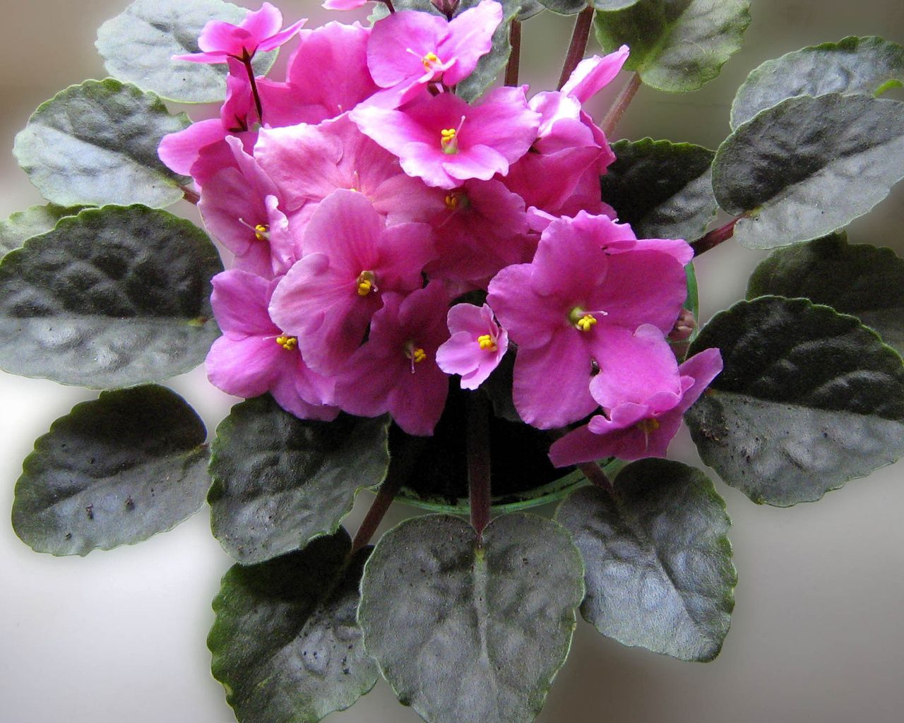 97698 Screensavers and Wallpapers Room for phone. Download Flowers, Violet, Flower, Room, Leaves, Pot pictures for free