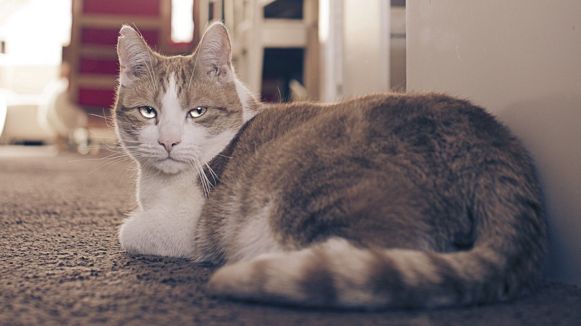 61249 download wallpaper Animals, Cat, Fat, Thick, Sight, Opinion, Tired screensavers and pictures for free