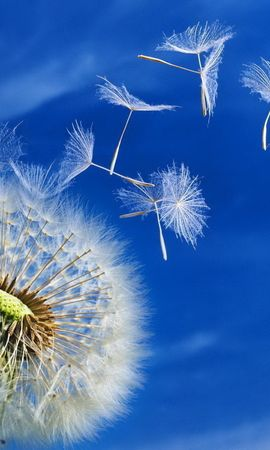 19507 скачать обои Растения, Цветы, Фон, Небо, Одуванчики - заставки и картинки бесплатно