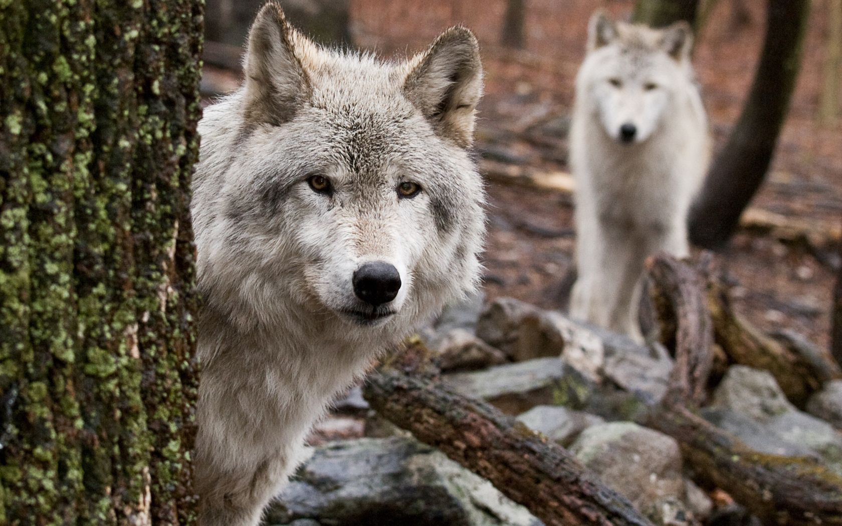 118181 download wallpaper Animals, Wolf, Wood, Tree, Peek Out, Look Out, Hide, Hunting, Hunt, Predator screensavers and pictures for free