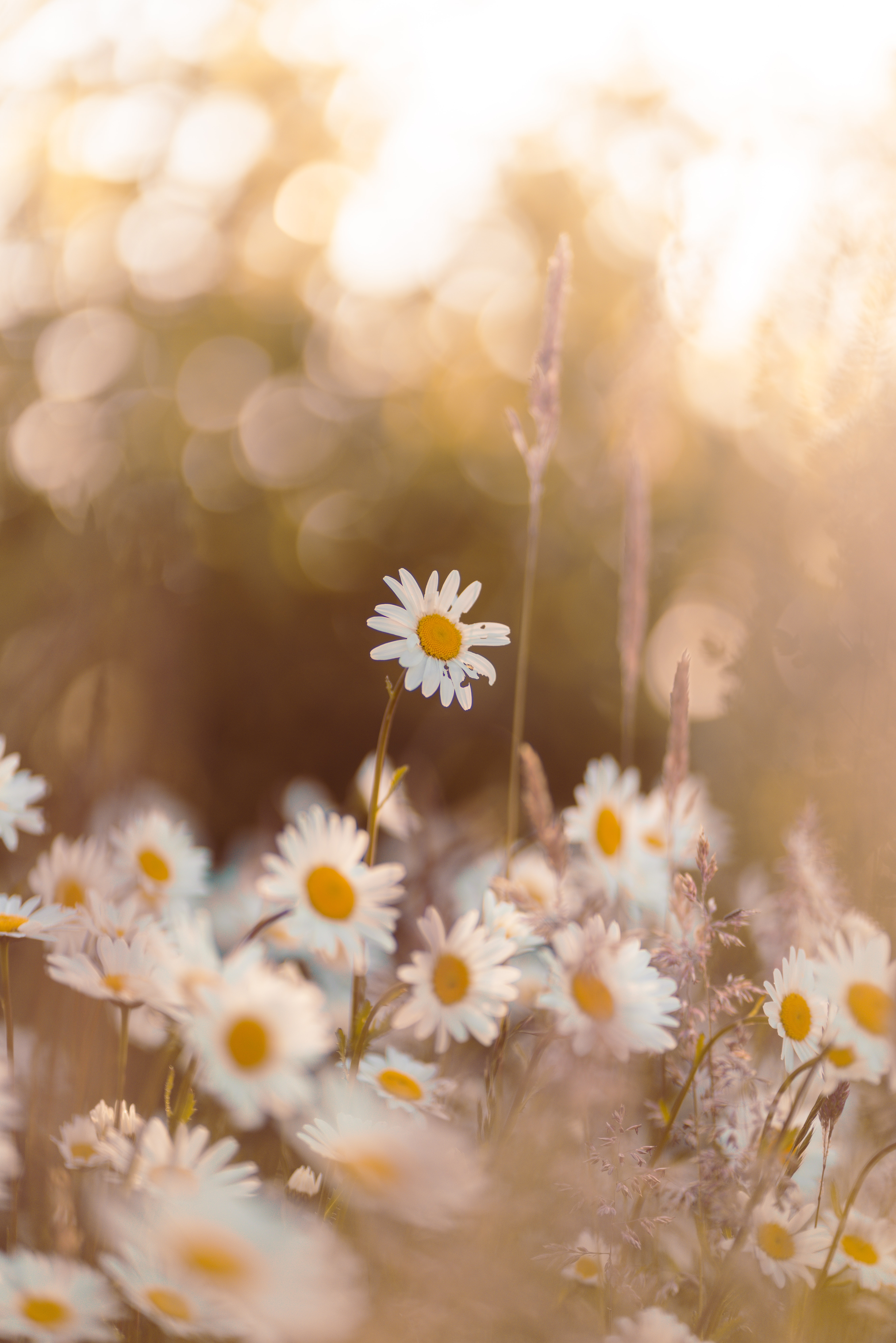 55995 download wallpaper Flowers, Chamomile, Camomile, Wildflowers, Petals, Focus screensavers and pictures for free