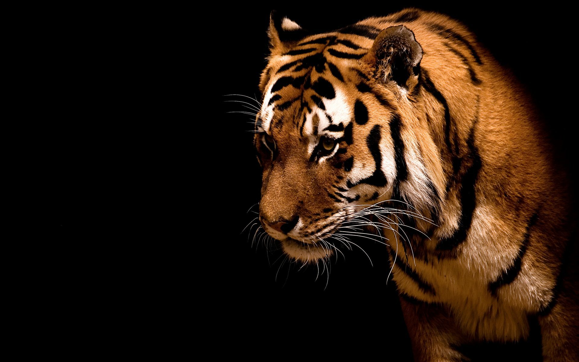 48915 descargar fondo de pantalla Animales, Tigres: protectores de pantalla e imágenes gratis